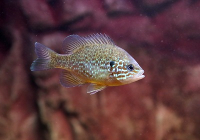 Get to Know the Pumpkinseed, Fall's Favorite Fish