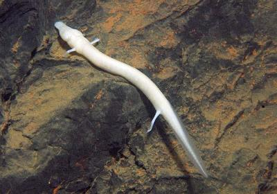 Meet the Oddball Olm: A Pint‐Sized Aquatic Dragon