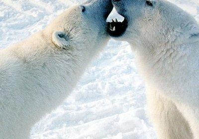 Coca Cola's Polar Bear