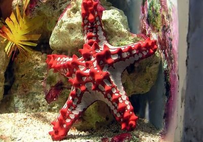 The Amazing Starfish