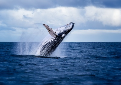 Humpbacks Meet the Big Apple