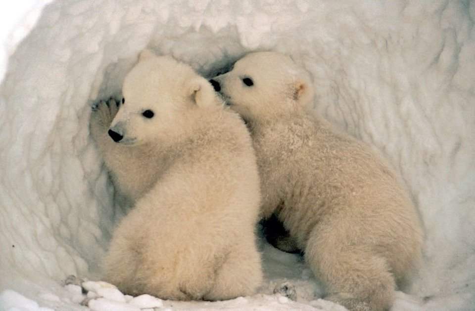 Polar Bears at the North Pole