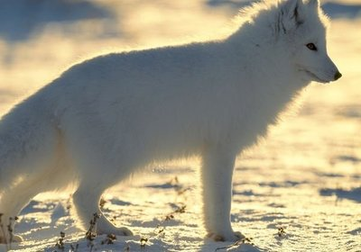 Animals of the North Pole