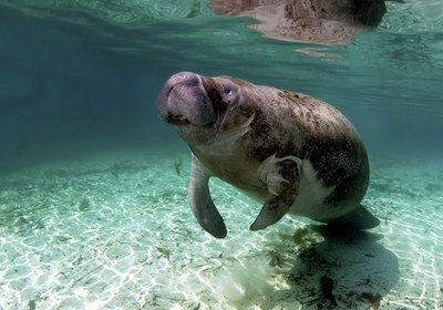 Manatees - Florida's Gentle Giants