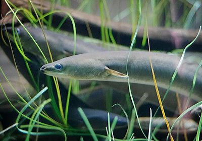 The American Eel: Close to Extinction