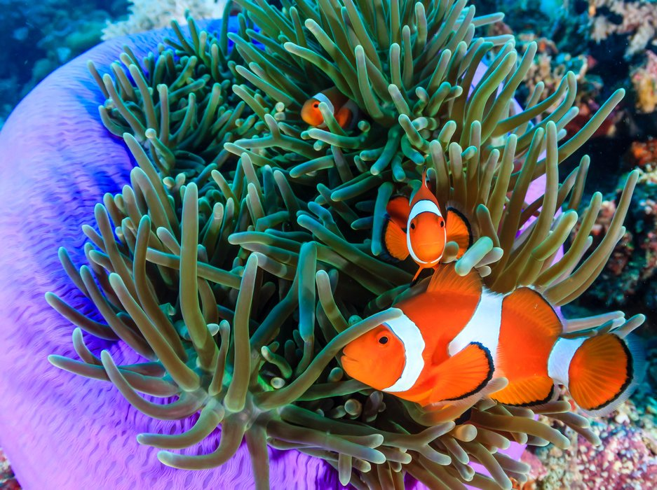 All About Clownfish