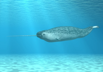 A Look at the Narwhal: A Not-So-Mythical Marvel