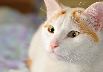 Getting to Know the Turkish Van