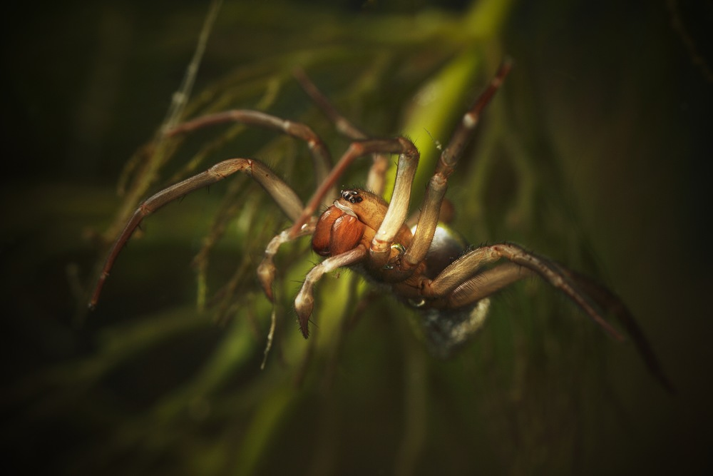 A Closer Look at the Diving Bell Spider: The Underwater Arachnid