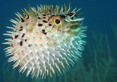 The Perplexing Pufferfish