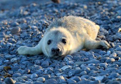 Seal Pups and their Canine Counterparts